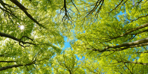 Looking up in a Beech tree forest